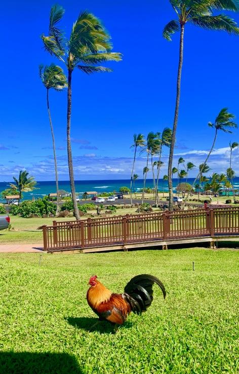 roosters, kauai, palm trees, hilton garden inn wailua bay, beaches, hawaii